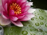 Another water lily by Cessi