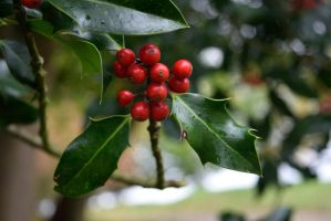 DSC 0027 Holly Berries by wintersmagicstock