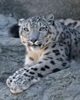 Snow Leopard 2458 by robbobert