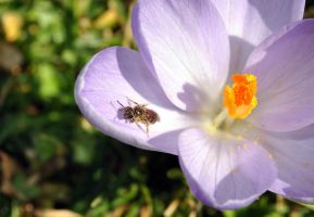 the bee and the purple crocus by Nanook94