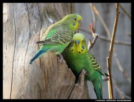 Mr And Mrs Budgie 2 by leopatra-lionfur