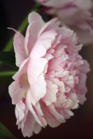 Peony In My Window by PhotoTAKER1497