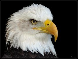 Bald Eagle Portrait by cycoze