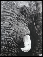 Elephant charcoal by ChristerKol