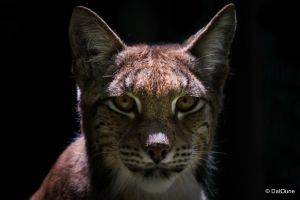 Lynx Close up by DatOune