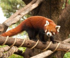 Red Panda by DanielleMiner