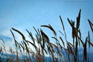 Wheat against Blue by inessentialstuff