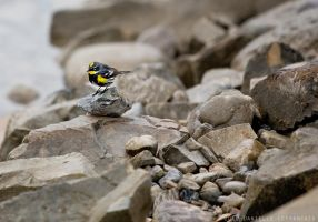 Yellow Rumped Warbler by Dani-Lefrancois