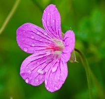 Pink Flower with Raindrops by dariuszwozniak