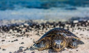 Sea Turtle by TheWyvernGuy