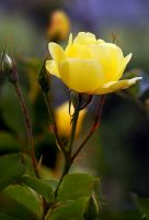 Yellow Rose by shell4art