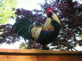Cojiro the Rooster 2 by x-EBee-x