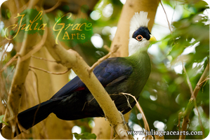 White-crested Turaco by JuliaGraceArts