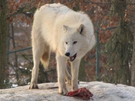 North American Arctic Wolf 89 by animalphotos