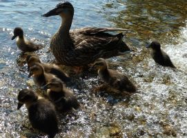 Duck and Ducklings by Estruda