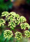 Queens Anne Lace by ELaiNes-DarkRoom