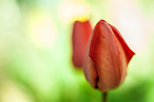 Tulips by sol0dolo