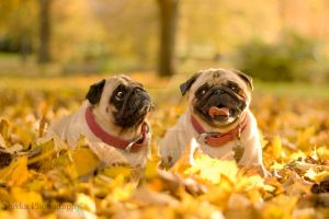 Pug autumn by Zluvka