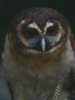 Brown Wood Owl I by Parides