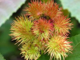 Castor Bean Seed Pods by Kitteh-Pawz