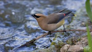 Cedar wax wing drinking by DGAnder