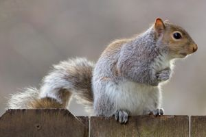 Eastern gray squirrel 36 by EasternGraySquirrel