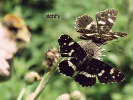 Butterfly Dream 7 by sichi-anto