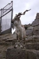 Markhor 3 by Panopticon-Stock