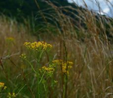 Butterweed by jena4renna