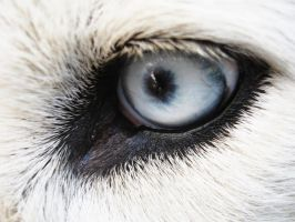 malamute eye by Iinvy