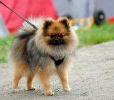 Pomeranian at show by felill