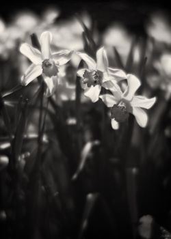 Narcissus by HorstSchmier