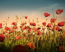 Poppy Wallpaper by MegaTherionus