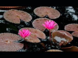 Two Pink Water Lilies by Fugu-5