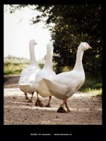 White gooses walking 2 by Leconte