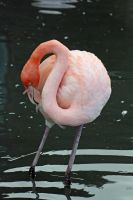 Pink Flamingo by BlonderMoment