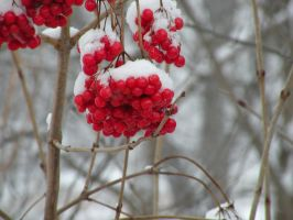 Red Berries :H: by DJCandiDout