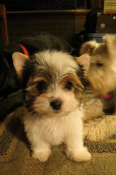 Rupert the Biewer Yorkie by AcousticShadows
