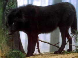 Black Wolf by SolStock