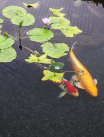 Koi Fish under Lillies II by GreenEyezz-stock