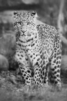 Leopard, KA II by FGW-Photography