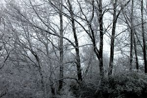 Snowy Trees by Mehgan1