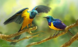 The Golden-breasted Starling by O-l-i-v-i