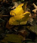 Maple Leaf 3 by M4t37