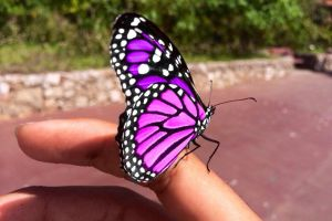 The rare pink and purple monarch by SoularWolf4