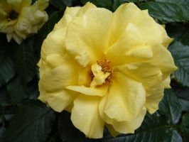 Yellow Rose by DKD-Stock