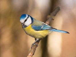 Blue tit by starykocur