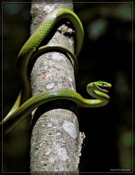 Rough Green Snake 50D0000187 by Cristian-M