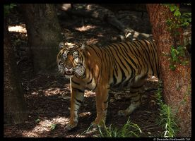 Tiger in the forest by TVD-Photography