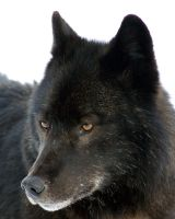 Wolf close up by akshelby